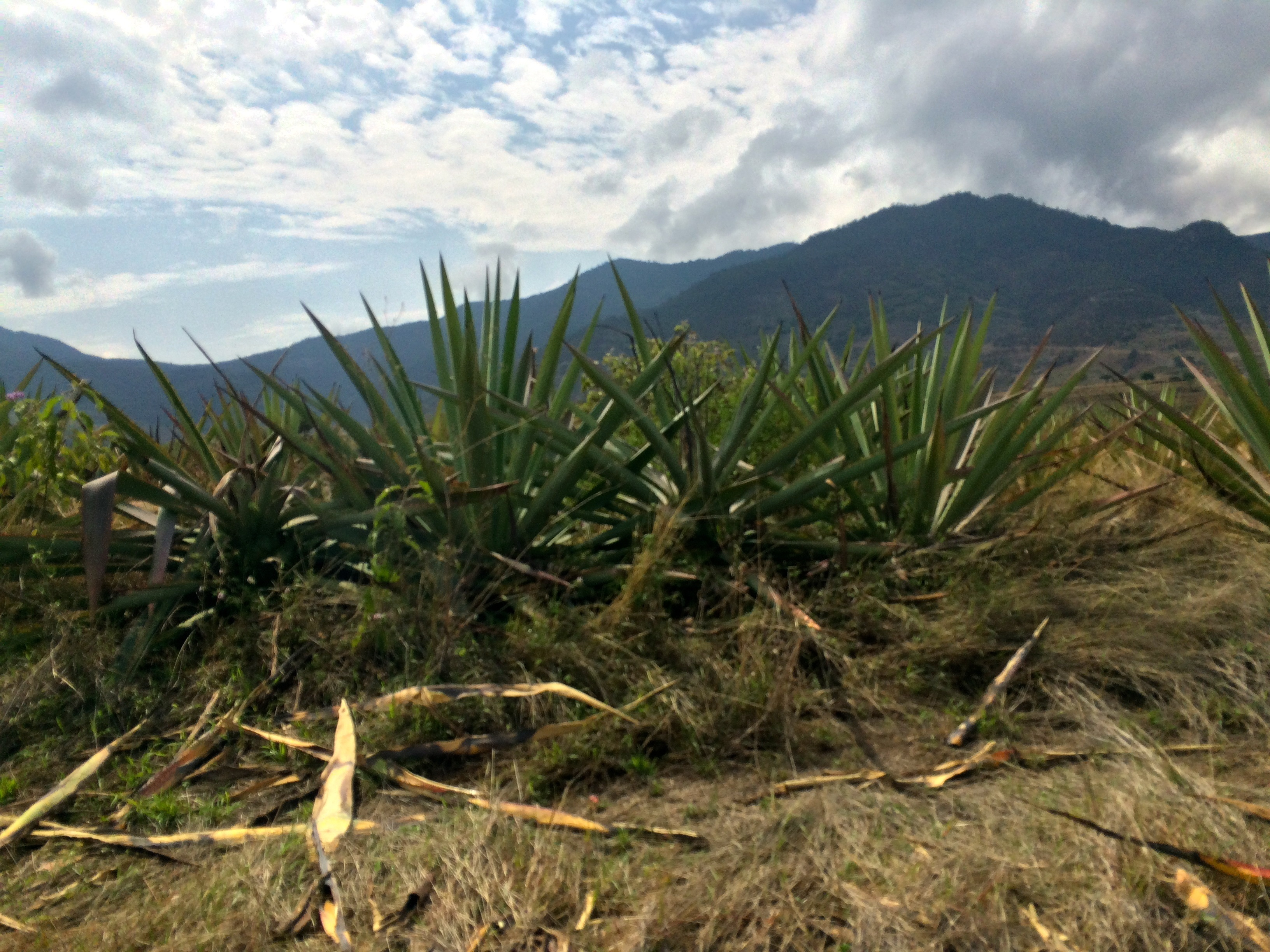 agave cultivation