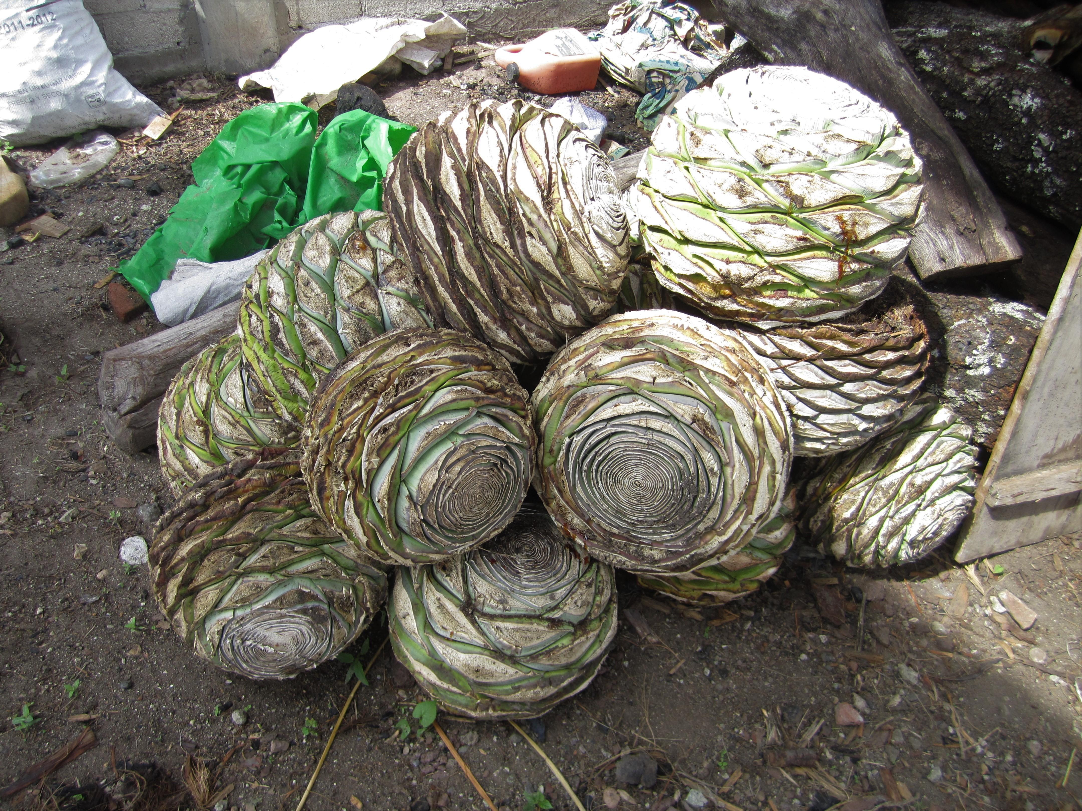 agave for mezcal
